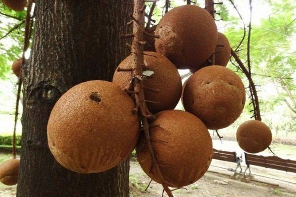 Бразильский орех- как растет, полезные свойства, как употреблять в различных формах и областях, фото и видео