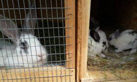 Отсадка крольчихи от молодняка