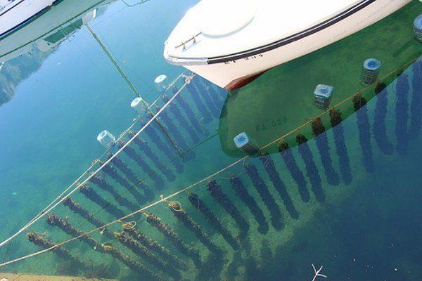 Выращивание мидий в море