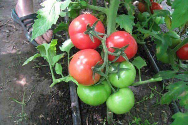 Аппетитный томат