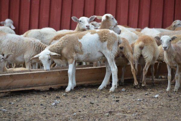 Кормление молодых овец
