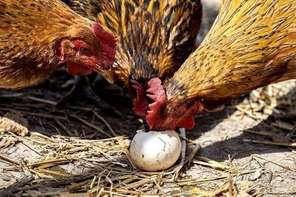 Куры клюют яйцо