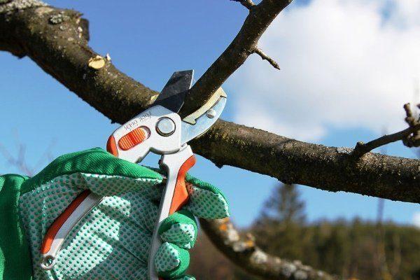 Обрезать плодовое дерево
