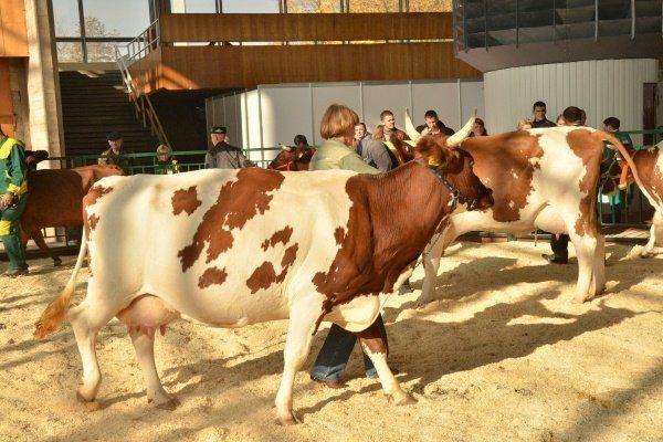 Коровий осмотр