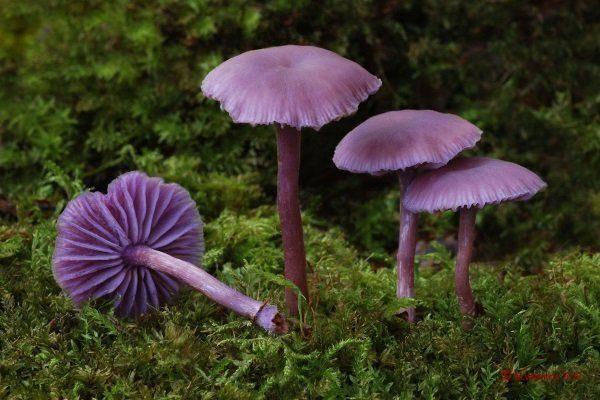 Лаковица фиолетовая