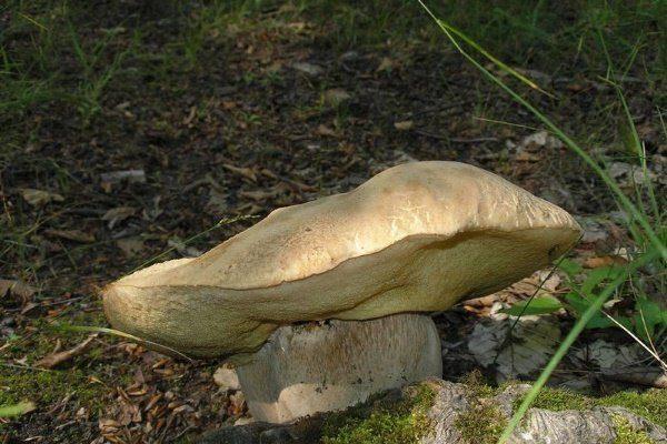 Горный белый гриб