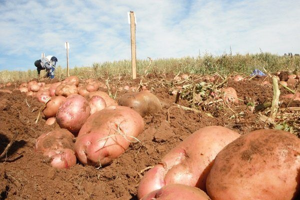 Ирбитский картофель