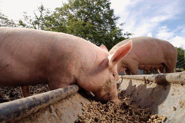 Свинки едят концентрированный корм