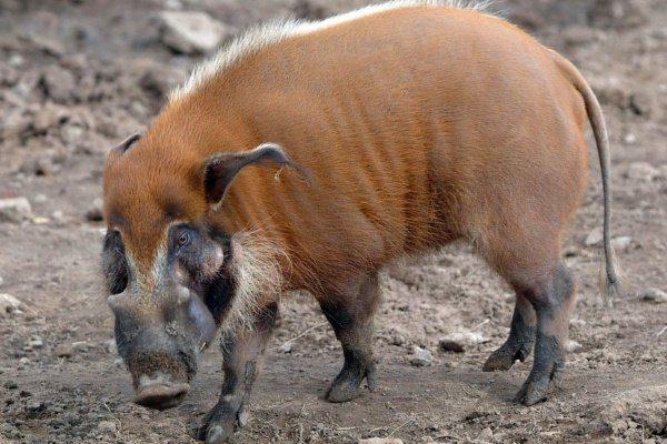 Свинья породы кистеух