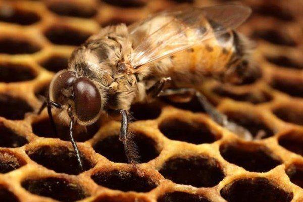 Трутень – кто он в пчелином рое и зачем нужен?