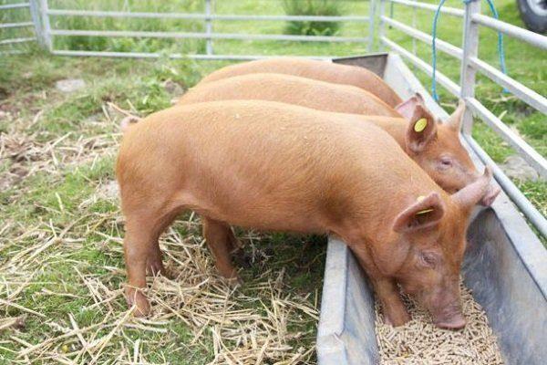 Дрожжевой откорм свиней