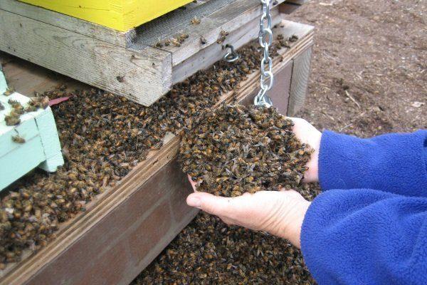 Падевое отравление пчел