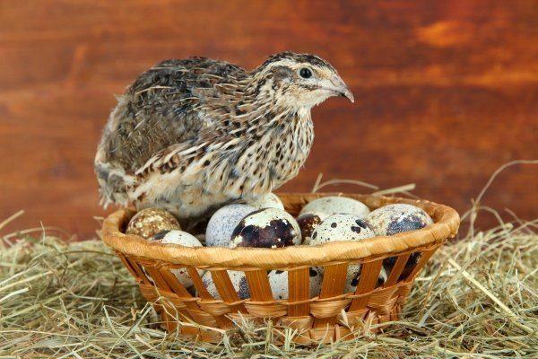 Перепелки и яйца