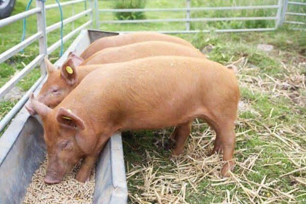 Кормушка для свиньи