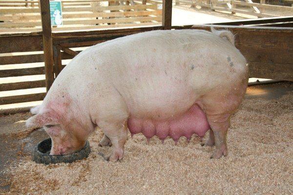 Кормление свиней в период супоросности