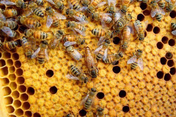 Поведение итальянских пчел