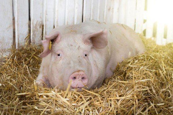 Подготовка свиньи