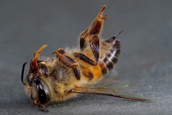 Интоксикация пчел нектаром