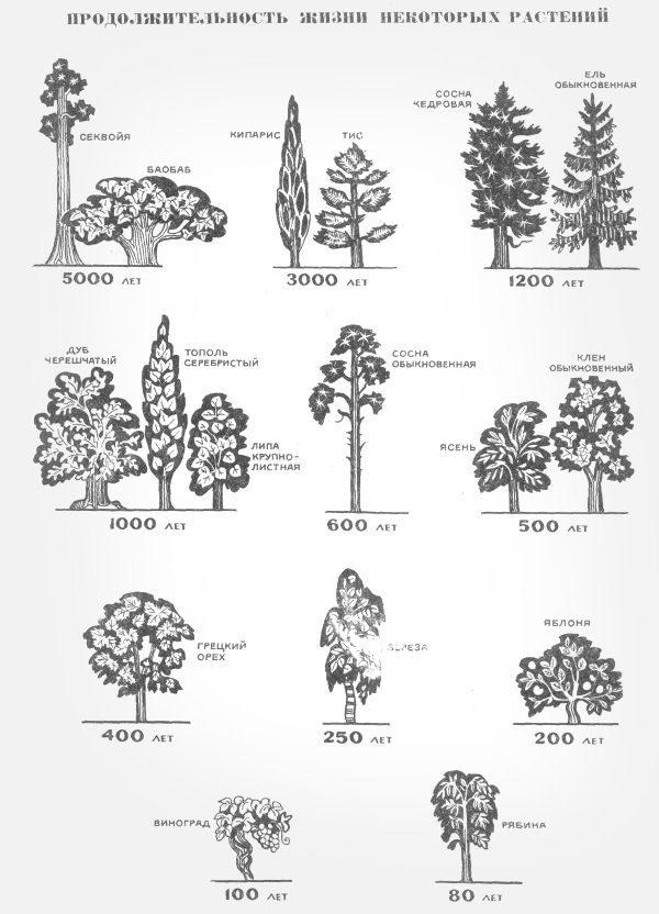 Возраст деревьев
