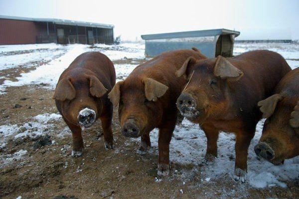 Условия содержания свиней породы Дюрок
