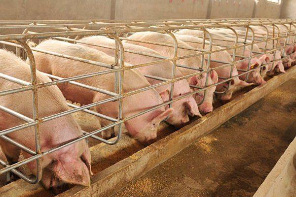 Кормление свиней на сало