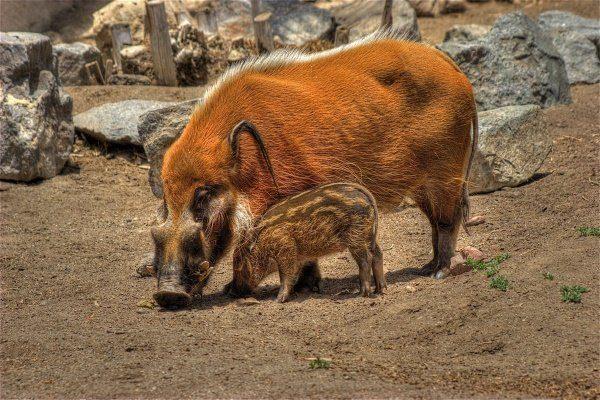 Свинья с поросёнком