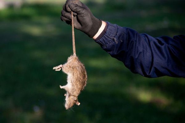 Истребление крыс