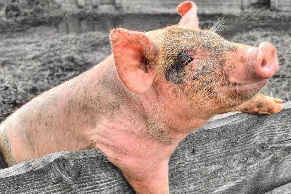 Свинья больна