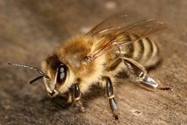 Степная украинская пчела
