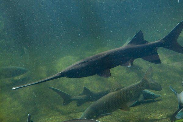 Веслонос рыба