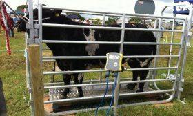 Взвешивание коровы