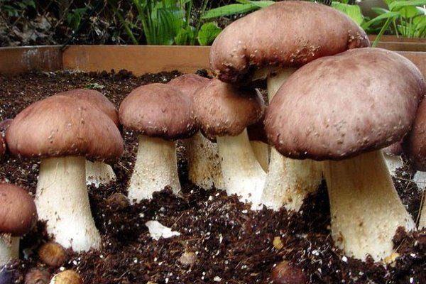 Выращивание белого гриба