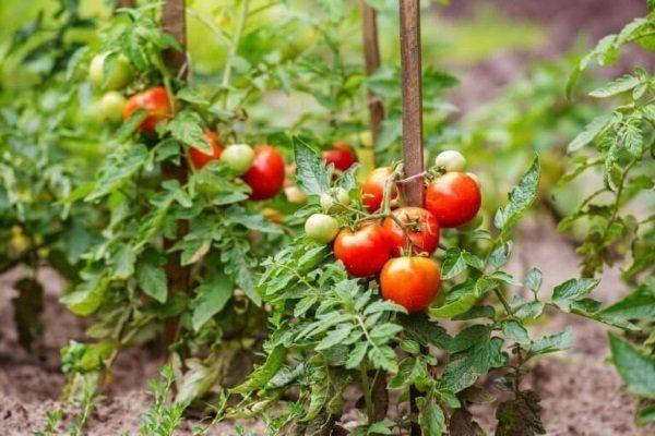 Низкорослый сорт томатов