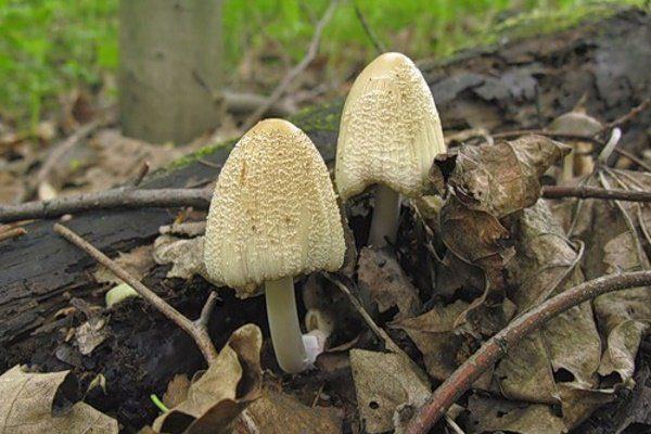 Навозник: особенности гриба, его произрастание, свойства и выращивание