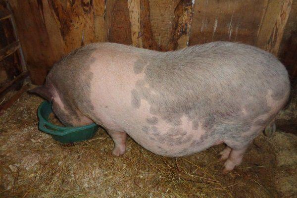 Кормление беременной свиньи