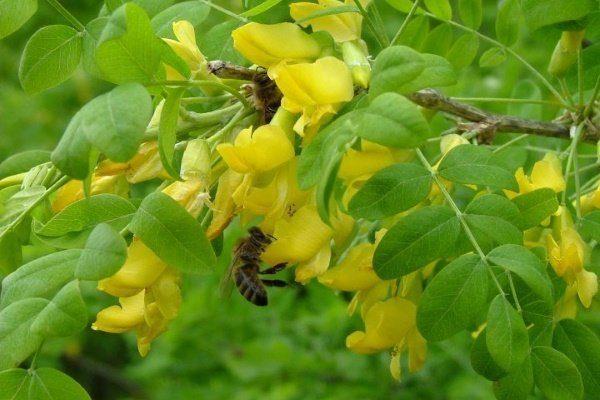 Пчела на акации