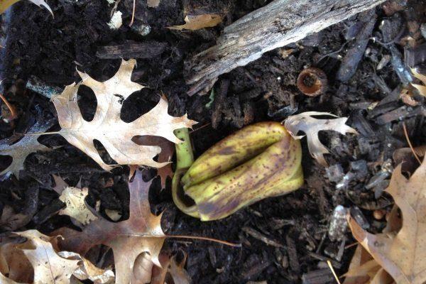 Банановая кожура на компосте