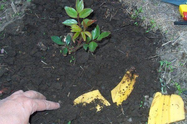Закапывание кожуры в землю