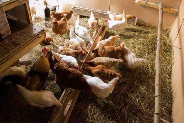 Куры едят зерновые культуры