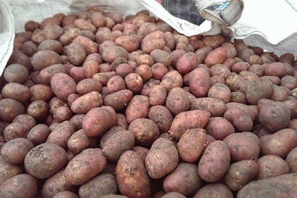 """Картофель сорта """"Ильинский"""""""