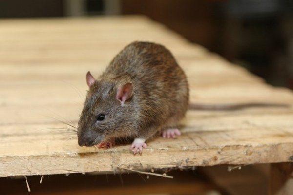 Крыса в курятнике