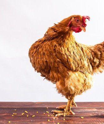Курица снесла мало яиц