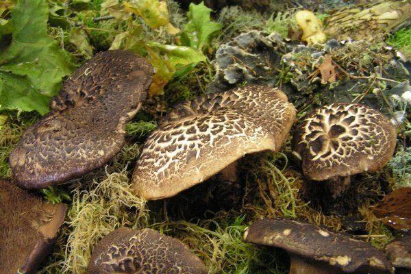 гриб ежевик фото и описание как готовить