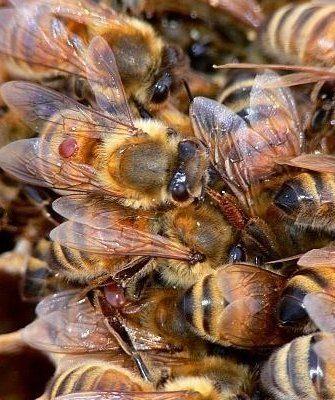 Клещи на пчёлах