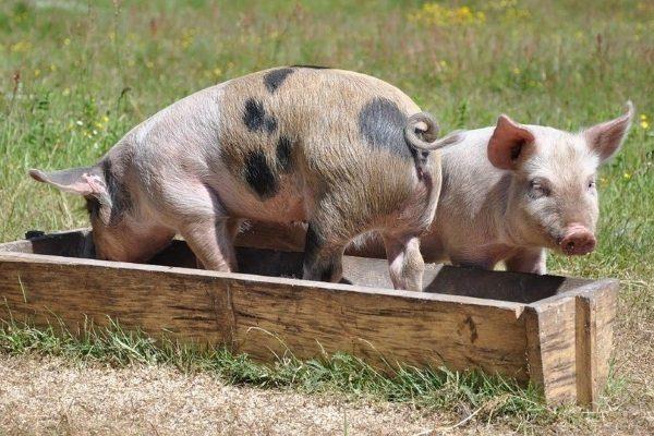 Корыто для свиней