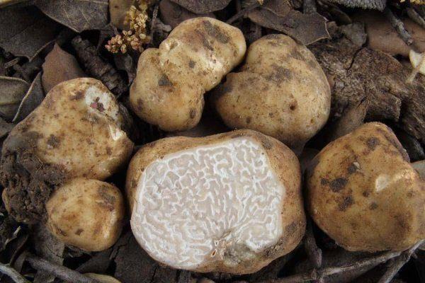 Трюфель гриб