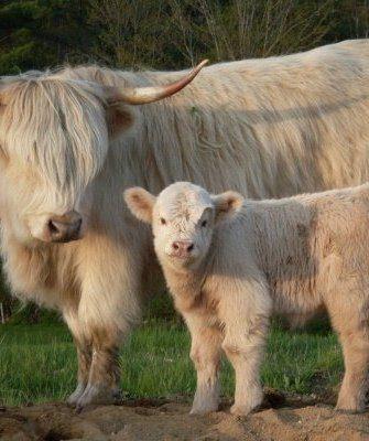 """Мини-корова """"Хайленд"""""""