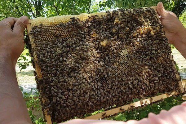 Большая продуктивность пчёл