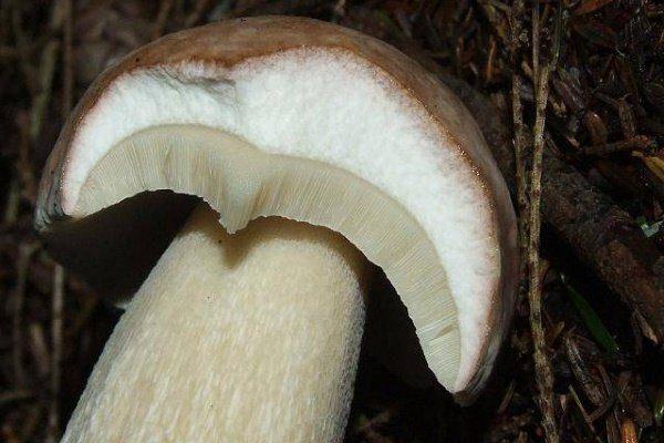 Белый гриб (он же боровик): подробное описание с фото