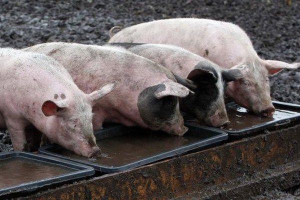 Свиньи пьют